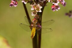 Brown Dragonfly Near Flower Stock Images