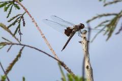 Brown dragonfly odpoczywa na kiju Obraz Royalty Free