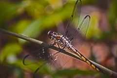 Brown Dragonfly Stock Image