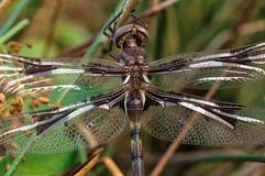 Brown Dragonfly Portrait Royalty Free Stock Photos