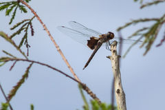 Brown dragonfly resting on a stick. Brown dragonfly perched on a stick with some greenery, shallow depth of field, focusing on the dragonfly. 3228px X 2152px Royalty Free Stock Image