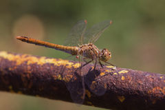 Brown dragonfly. Sits on a rusty metal pipe with traces of yellow paint Stock Images