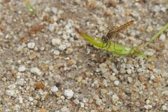 Brown dragonfly stands on grass with sand, in the natural background stock images