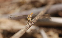 Brown Dragonfly on a Twig Royalty Free Stock Image