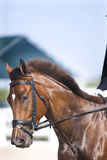 Brown dressage horse portrait Royalty Free Stock Images