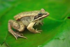Brown drewniana żaba na a waterlily w stawie w naturze Zdjęcia Royalty Free