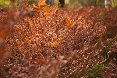 Brown Dried Fern Background Royalty Free Stock Images