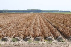 Brown dried fields caused by the dryness of the summer of 2018 in the Netherlands. Brown dried fields caused by the dryness of the summer of 2018 in the royalty free stock photos