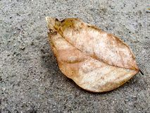 Brown Dried Leaf. On the floor Royalty Free Stock Photo