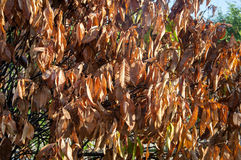 Brown dried leaves. Royalty Free Stock Images