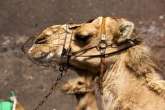 Brown dromedary bite in the volcanica lanzarote spain a Royalty Free Stock Photography