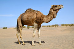 Brown dromedary Stock Photos