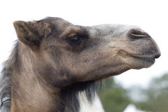 Brown dromedary camels head Royalty Free Stock Photos