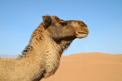 Brown dromedary Royalty Free Stock Photos