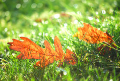 Brown dry leaf on green field, automn Stock Image