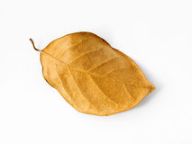 Brown dry leaf on a white background Stock Photography