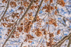 Brown dry leaves covered with snow, winter is comming Stock Photography