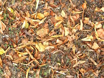Brown dry leaves Royalty Free Stock Image