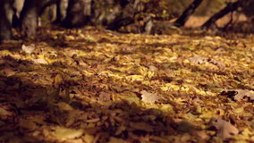 Brown dry leaves on the ground in the forest. Close smooth dolly shot to right. Fallen golden leaves and forest trees in. Soft focus on the background. Autumn stock footage