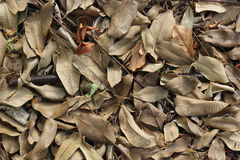 Brown dry leaves laying on the ground. Brown fallen dry leaves laying on the ground stock photo