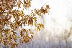 Brown, dry oak leaves hanging on the tree with pale sunlight shining through branches of background branches; Winter scene. Oak leaves still cling to the tree stock photos