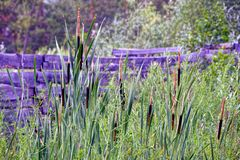 Brown dry reeds on long green stems near the fence Royalty Free Stock Photography
