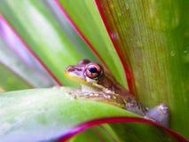 Brown Drzewna żaba Obrazy Royalty Free