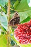 Brown duży tropikalny motyli obsiadanie na dużym czerwonym kwiacie z gree Fotografia Stock