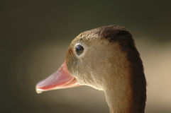 Brown Duck 1 Royalty Free Stock Photography