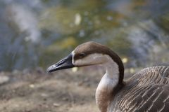 Brown Duck. Is sitting near with the pond Royalty Free Stock Photo