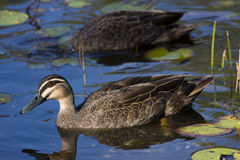 Brown Duck. The Commoner Of The Pond - The Brown Duck AKA Mallard Duck (Anas Platyrhynchos Stock Photos