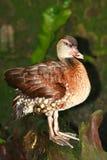 Brown Duck Stock Photos