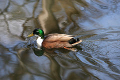 Brown duck Royalty Free Stock Photo