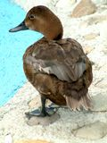 BROWN DUCK. Standing by the pool royalty free stock photo