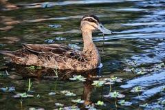 Brown Duck. Australian waterfowl found all around Australia. shot in southeast Queensland Stock Photo