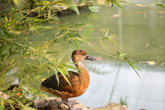 Brown duck. Royalty Free Stock Photos