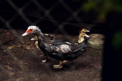 Brown duck in a cage. Brown duck duckling in a cage ground green Royalty Free Stock Photography