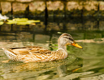 Brown duck floating on calm water. Close-up of brown duck floating on calm water Stock Images