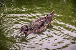 Brown duck floating on a green pond. Beautiful animal Stock Photos