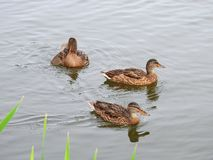Brown duck floating on water, Lithuania royalty free stock photo