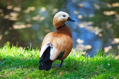 Brown duck on grass near water Royalty Free Stock Images