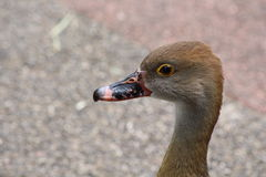 A brown duck Royalty Free Stock Images
