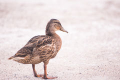 Brown Duck Royalty Free Stock Image