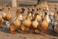 Brown duck Stock Photo