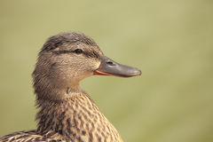 Brown duck Royalty Free Stock Images
