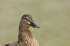 Brown duck Royalty Free Stock Photos