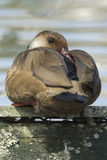 Brown duck with red beak resting in a park lake with soft focus in the background Royalty Free Stock Photos