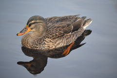 Brown Duck with Reflection Royalty Free Stock Photo