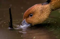 Brown duck's face drinking water. Close up of brown duck's face drinking water from a pond Stock Photography