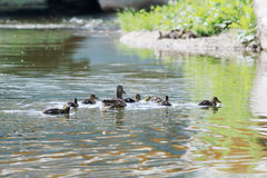 Brown duck and seven small ducklings Royalty Free Stock Photos